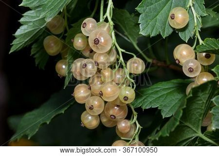 White Currant Berries Are Growing In The Green Garden. Close Up. Bunch Of Berries With Fresh Green L