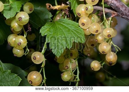 White Currant Berries Are Growing In The Summer Garden. Close Up. Bunch Of Berries With Fresh Green