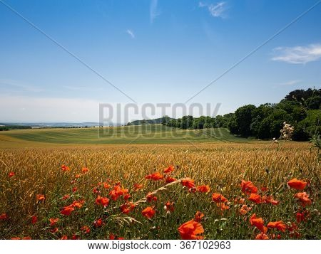 Summer Landscape In Czech Republic, Filed Of Wheat And Red Flowers Of Poppy