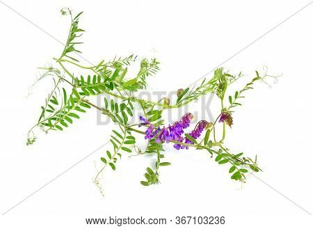 Vicia Cracca Tufted Vetch, Cow Vetch, Bird Vetch, Blue Vetch, Boreal Vetch. Isolated