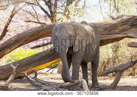 A Young Elephant Standing In Front Of A Fallen Tree By A Dried River In Namibia