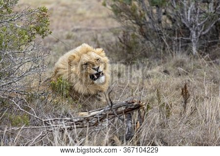 A Male Lion Snarls As It Lies In Long Grass In South Africa.