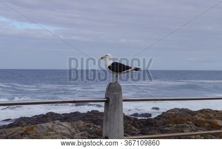 Seagull Sitting On A Perch In Cape Town South Africa
