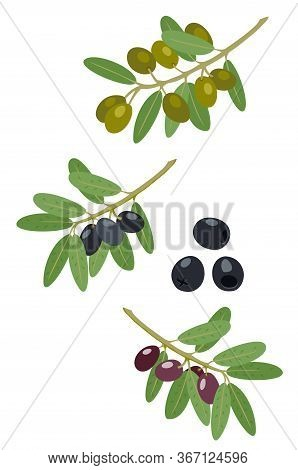 Olives And Olive Branches Vector Collection. Greek Olives Branch, Summer Oil Food Tree Twigs And Lea