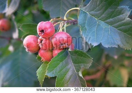 Hawthorn Berries In Green Garden. Bunches Of Bright Red Berries On A Tree Branch. Harvest And Health
