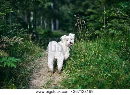 White Adorable Dog Playing In Forest On Sunny Day. Pets Concept