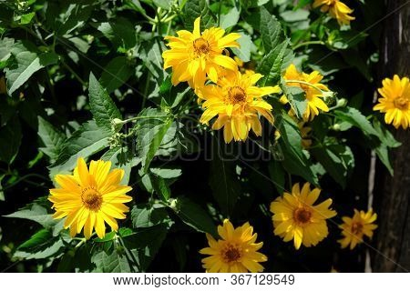 Arnica Mountain. A Bush Of Beautiful Yellow Flowers. Medicinal Plant.