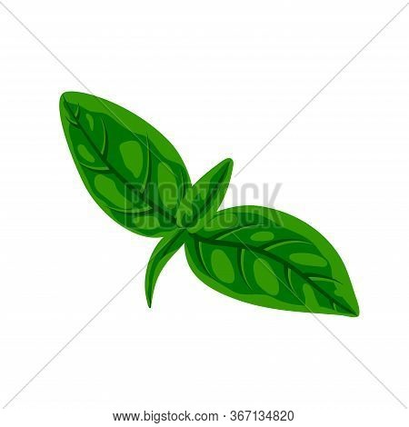 Fresh Green Basil Leaves Isolated On White. Flat Natural Fresh Food Herb Leaf, Cooking Ingredient Fo