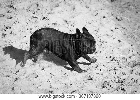 Black With Tiger Parts, The French Bulldog Is Actively Running And Strange In Nature Outdoors. Black