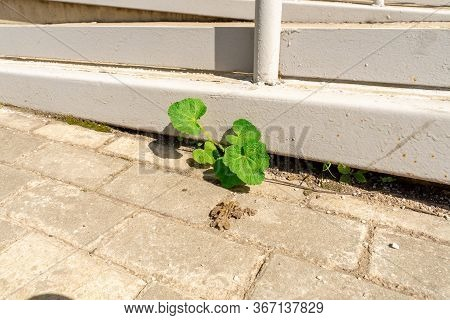 A Young Shoot Of A Plant Grew In A City Yard From Under Concrete