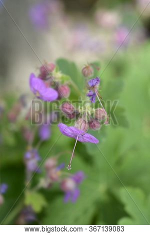 Rock Cranesbill - Latin Name - Geranium Macrorrhizum