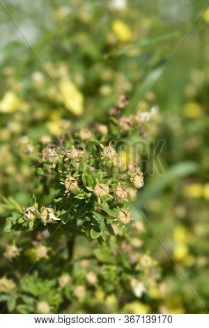 Yellow Shrubby Cinquefoil Flower Bud - Latin Name - Potentilla Fruticosa