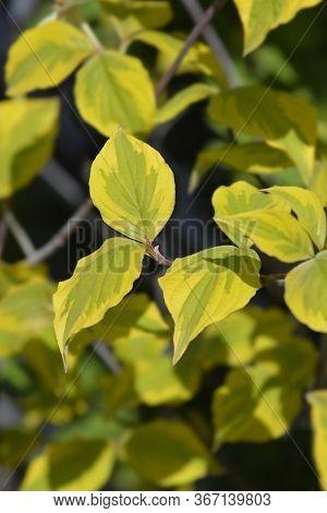 Flowering Dogwood Rainbow - Latin Name - Cornus Florida Rainbow