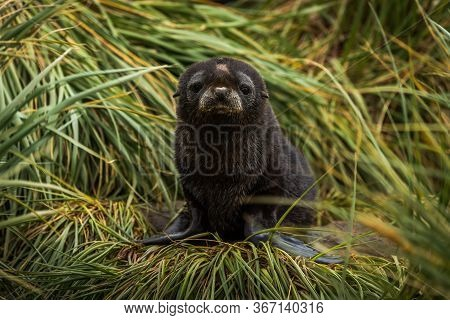 Sad Antarctic Fur Seal Pup On Grass
