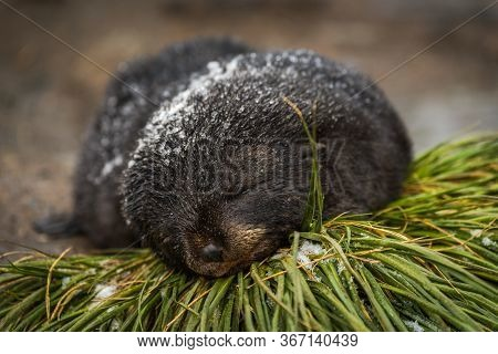 Snow-covered Antarctic Fur Seal Pup On Grass