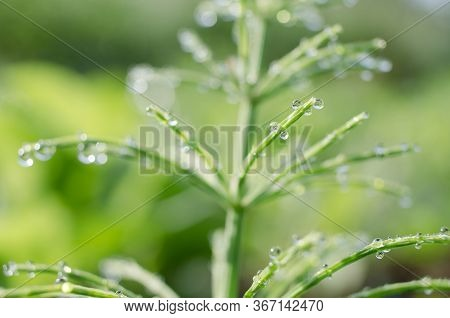 Green Horsetail Outdoors Grows In The Morning With Dew