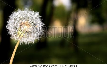 White Dandelion On A Blurry Background. Fluffy Dandelion. The Seeds Of A Dandelion.