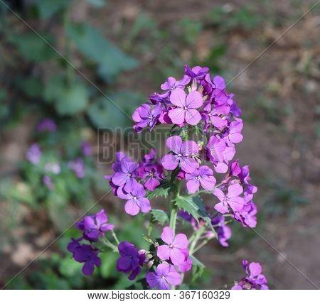 Pink Flowers Of Hesperis Matronalis Plant , Common Names Dames Rocket, Dames-wort, Dames Gilliflower