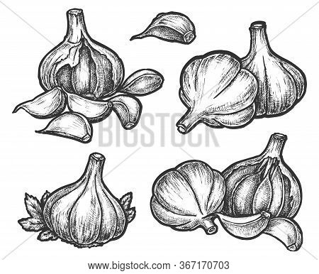 Hand Drawn Garlic Bulb And Vegetable Slices