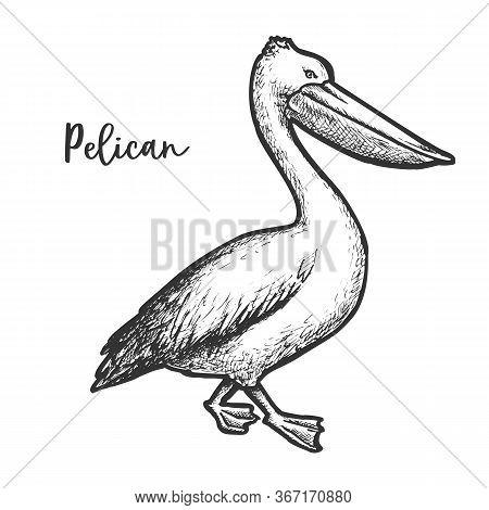 Pelican Etching Vector Illustration. Sketch Of Bird
