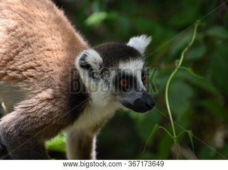 Beautiful Ring-tailed Lemur In The Forest Looking At Something