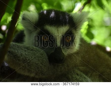 Close Up Of A Cute Ring-tailed Lemur