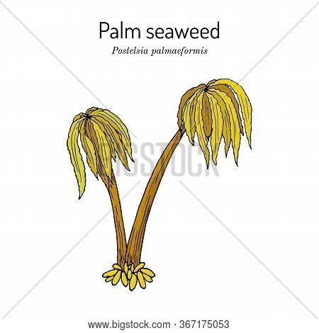 Sea Palm, Or Palm Seaweed Postelsia Palmaeformis , Edible Seaweed. Hand Drawn Botanical Vector Illus