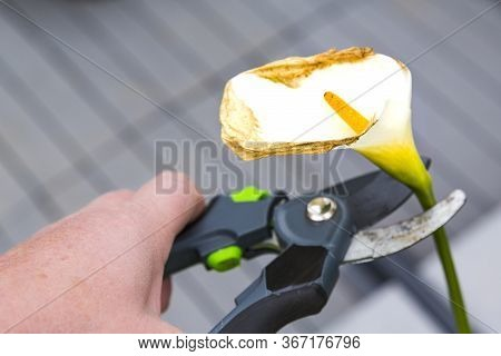 Mature Woman Hand Using Shears To Cut Wilted Arum Flower, In Garden. Authentic Scene In Spring Time