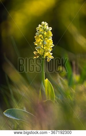 Beautiful Wild Orchid Flower With Yellow Petals. Spring Blooming Orchis Pallens. Law Protected Plant