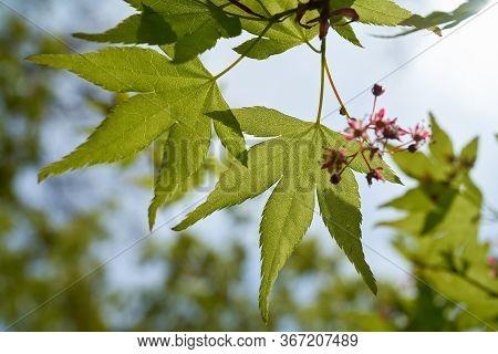 Japanese Maple (acer Palmatum) In A Garden In The Back Light