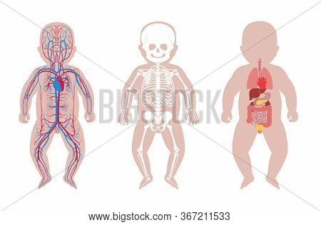 Baby Skeleton, Internal Organs, Circulatory System Anatomy. Anatomical Structure Of Human Newborn Ch