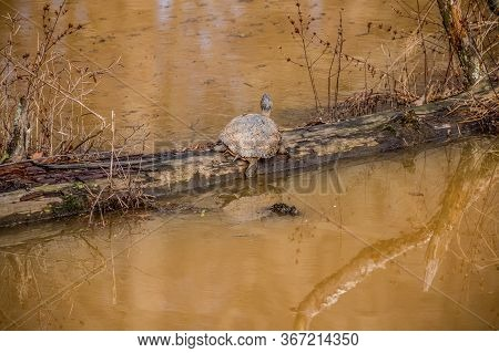 A Large Adult Painted Turtle Resting On A Fallen Tree In The Water Basking In The Sun On A Warm Day