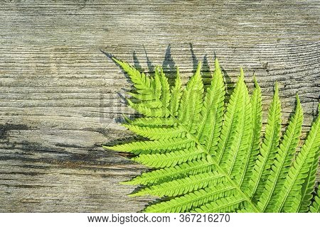 Green Leaf Of Fern In The Sun. Eco Concept. Fern Leaves Ecology Concept. Wildlife Paportik. Green Le