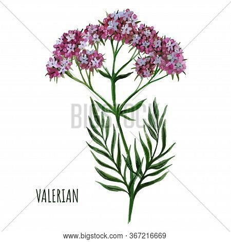 Valerian Plant With Small Flowers, Medical Plant,