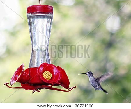 a tiny hummingbird getting a drink at a backyard feeder full of sugar water nectar poster