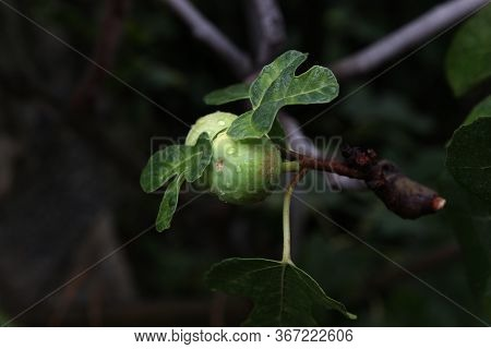 Figs Are Planted Close-up. Figs On A Branch With Leaves In A Fig Garden, Close-up