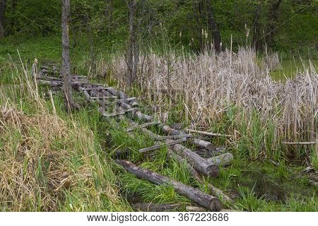 Overflow Land. Old Wooden Foot Bridge Among The Reeds On Forest Swampr. Landscape On The River. Ukra