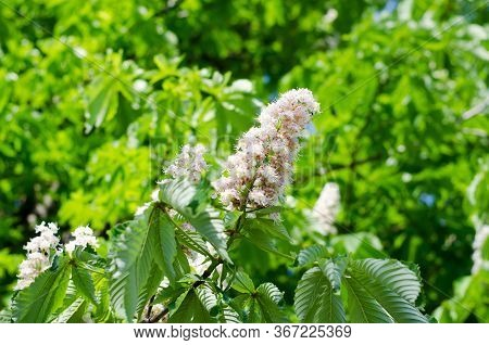 Flowering Chestnut. The Sun Shines On The Flowers And Leaves Of The Chestnut.
