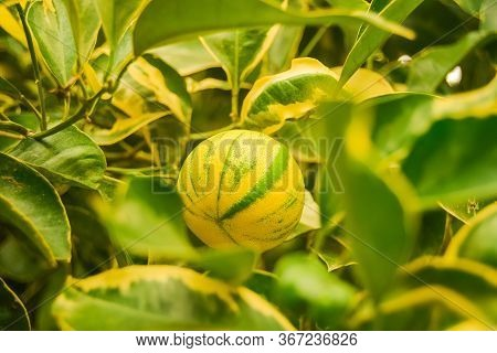Two-tone Bicolor Striped Lemon Hanging On The Lemon Tree Branch And Green Leaves In A Botanical Gard