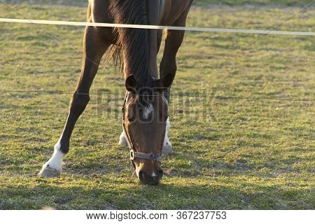 Magnificent Brown Horse Running Around A Preserved Area On A Grass-covered Meadow