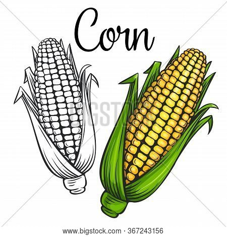 Corn Vector Drawing Icon. Vegetable In Retro Style, Outline Illustration Of Farm Product For Design