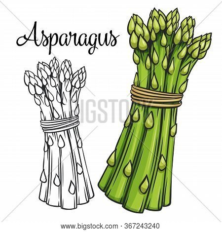 Asparagus Vector Drawing Icon. Vegetable In Retro Style, Outline Illustration Of Farm Product For De