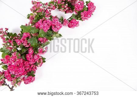 Midland Hawthorn (crataegus Laevigata) Branch With Blossoms On A White Background With Text Space