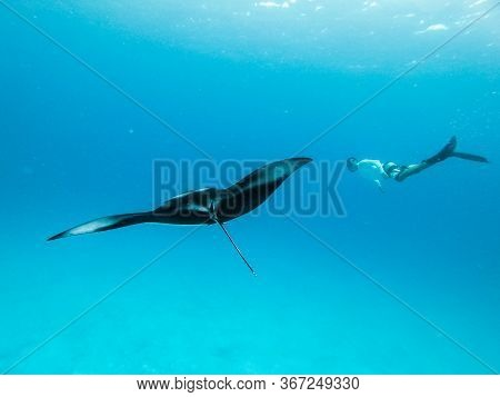 Underwater View Of Hovering Giant Oceanic Manta Ray, Manta Birostris , And Man Free Diving In Blue O