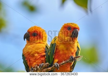 The sun parakeet beautiful colours of yellow, orange and red (Aratinga solstitialis), also known as the sun conure in South America
