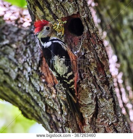 Dendrocopos medius, Middle spotted woodpecker, The bird is sitting next to the nesting cavity during the nesting season, some insects in the beak, Romania