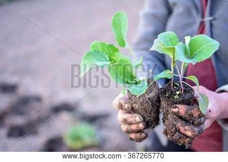 Young Stone Seedlings Planting Process. Young Cabbage Plants Are Held By A Vegetable Worker Before P