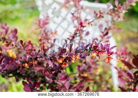 Barberry Blossoms On The Shrub In Spring In The Garden. Close Up.