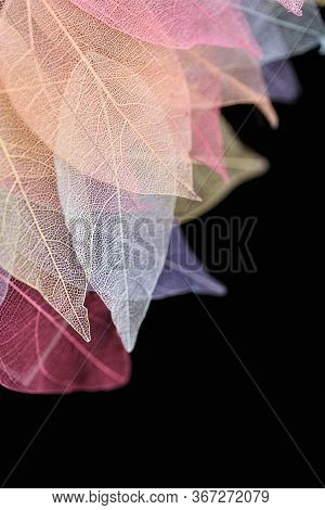 Skeleton Leaf Multicolored Set On A Black Background.dry Leaf Tree Texture.macro Photo With Space Fo