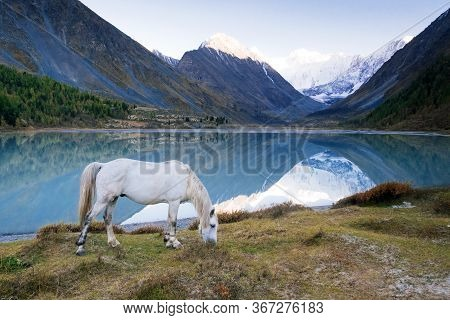 The White Horse Grazing In The Valley Of River Akem On Backgroind Of Mountain Belukha. Altai Mountai